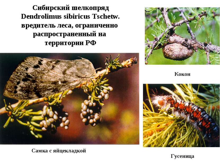 Сибирский шелкопряд Dendrolimus sibiricus Tschetw. вредитель леса, ограниченн...