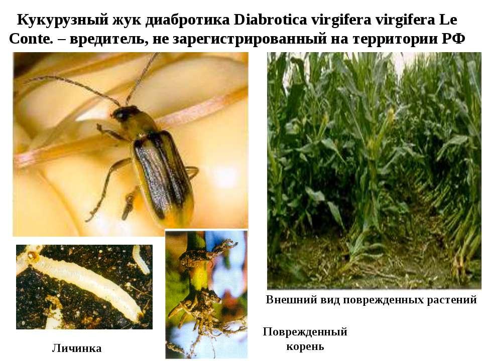 Кукурузный жук диабротика Diabrotica virgifera virgifera Le Conte. – вредител...