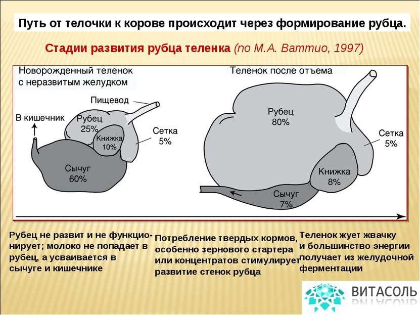 Стадии развития рубца теленка (по М.А. Ваттио, 1997) Рубец не развит и не фун...