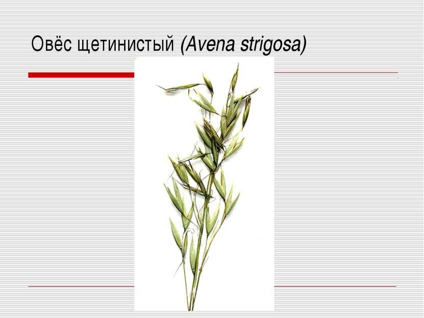 Овёс щетинистый (Avena strigosa)