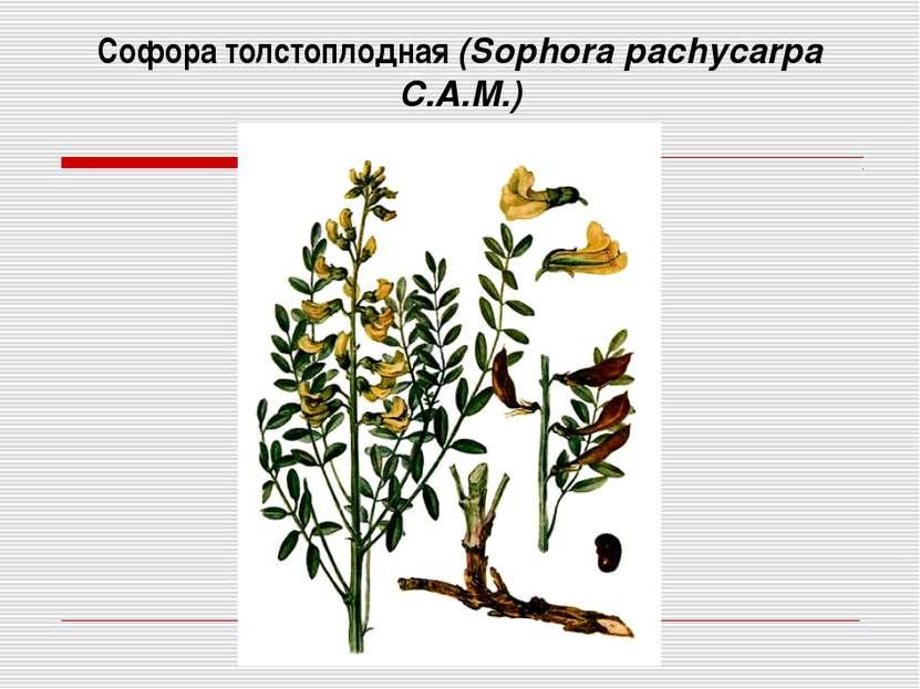 Софора толстоплодная (Sophora pachycarpa C.A.M.)