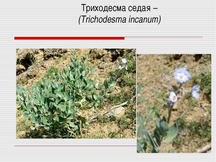 Триходесма седая – (Trichodesma incanum)