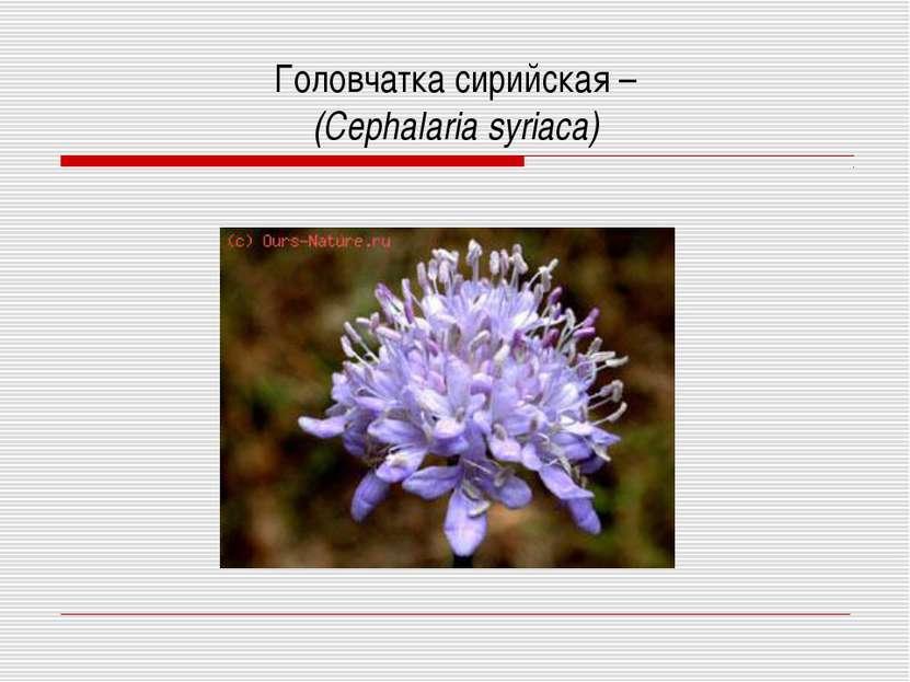 Головчатка сирийская – (Cephalaria syriaca)