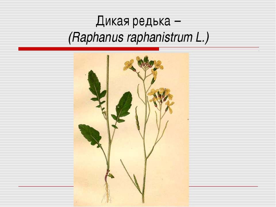 Дикая редька – (Raphanus raphanistrum L.)