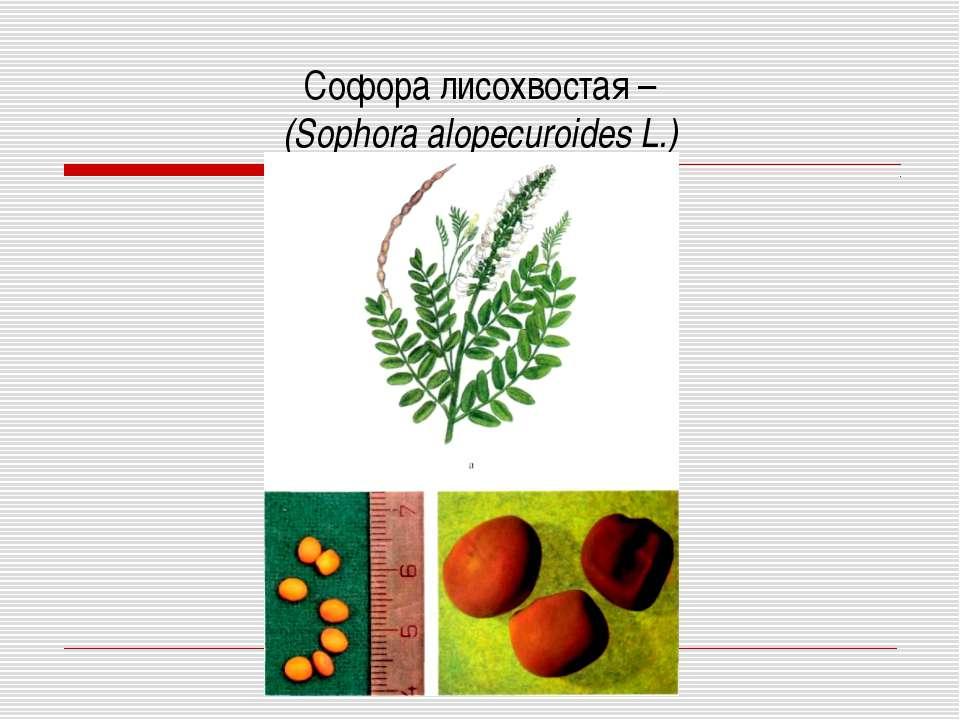 Софора лисохвостая – (Sophora alopecuroides L.)