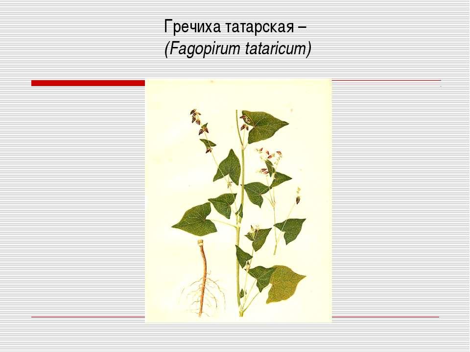 Гречиха татарская – (Fagopirum tataricum)