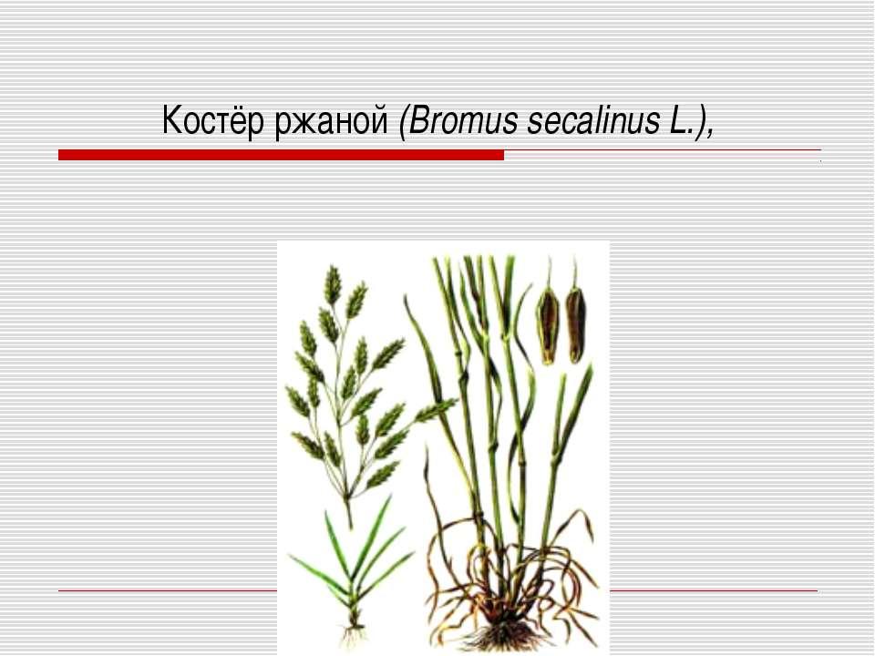 Костёр ржаной (Bromus secalinus L.),