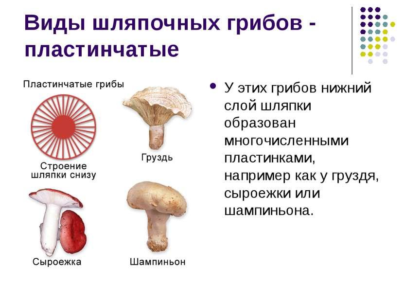 Виды шляпочных грибов - пластинчатые У этих грибов нижний слой шляпки образов...