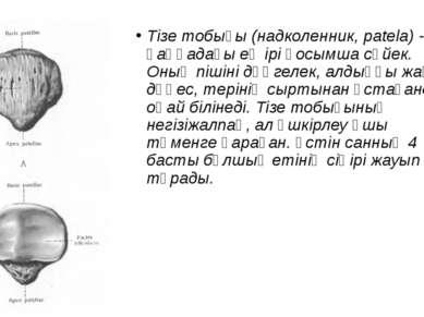 Тізе тобығы (надколенник, patela) - қаңқадағы ең ірі қосымша сүйек. Оның піші...