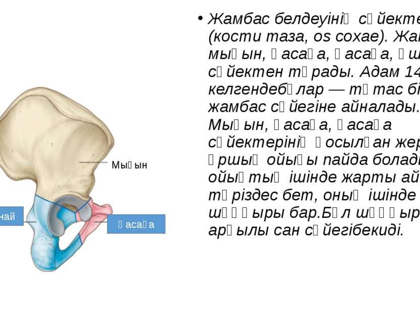 Жамбас белдеуінің сүйектері (кости таза, os coxae). Жамбас: мықын, қасаға, қа...