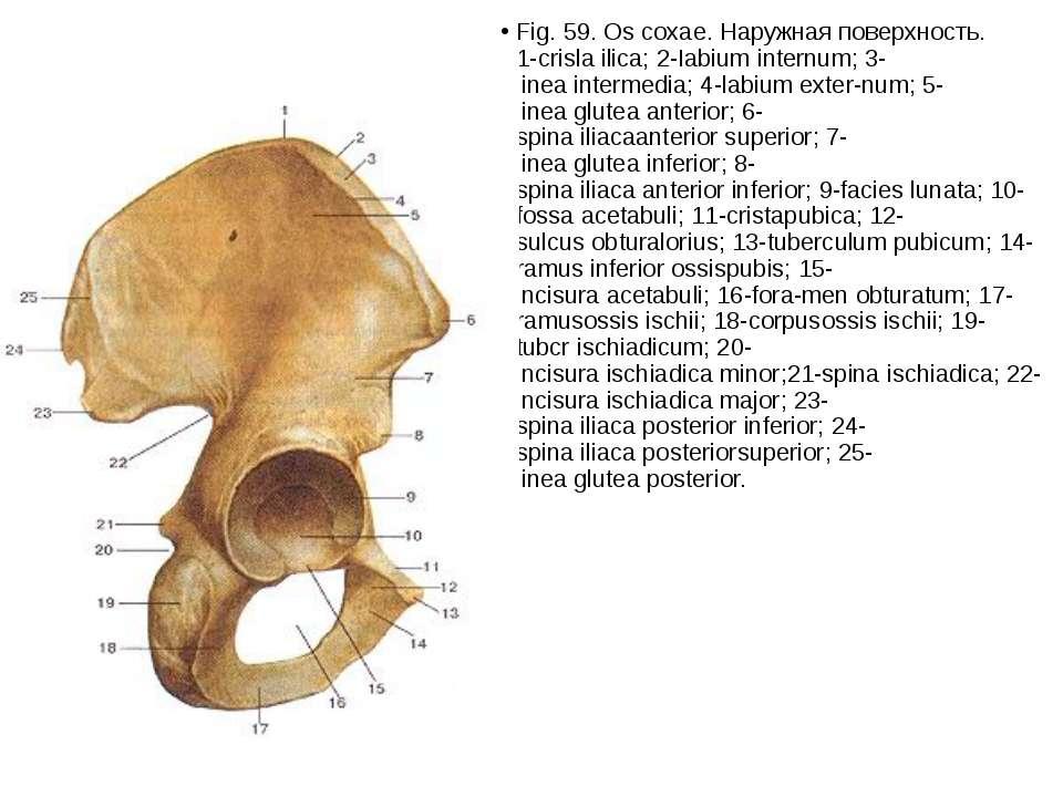 Fig.59.Oscoxae.Наружнаяповерхность. 1-crislailica;2-Iabiuminternum;3...