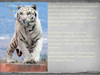 -В природе врагов у тигров нет. Единственные животные, которые могут представ...