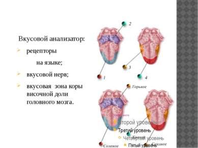 Вкусовой анализатор: рецепторы на языке; вкусовой нерв; вкусовая зона коры ви...