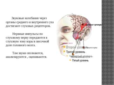 Звуковые колебания через органы среднего и внутреннего уха достигают слуховых...