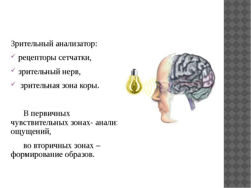 Зрительный анализатор: рецепторы сетчатки, зрительный нерв, зрительная зона к...