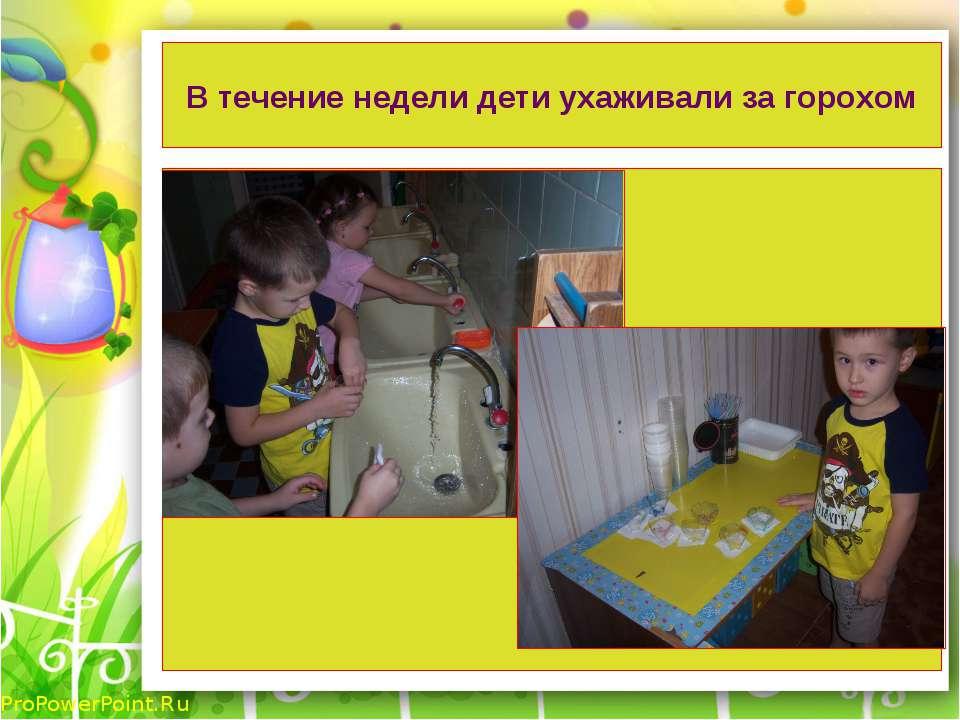 В течение недели дети ухаживали за горохом ProPowerPoint.Ru