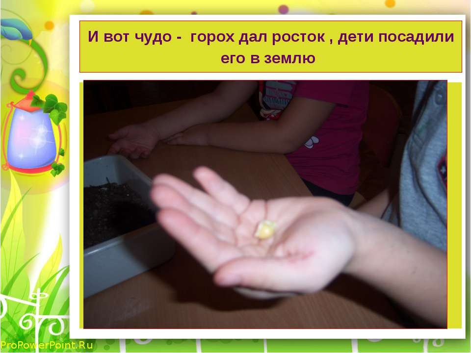 И вот чудо - горох дал росток , дети посадили его в землю ProPowerPoint.Ru
