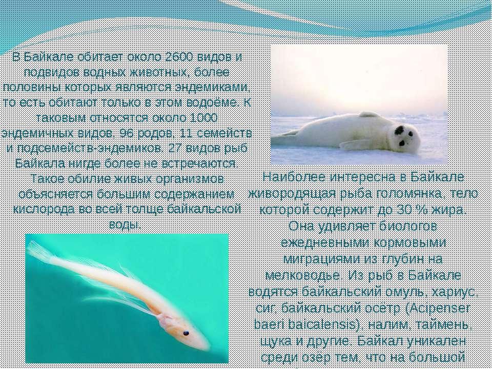 В Байкале обитает около 2600 видов и подвидов водных животных, более половины...