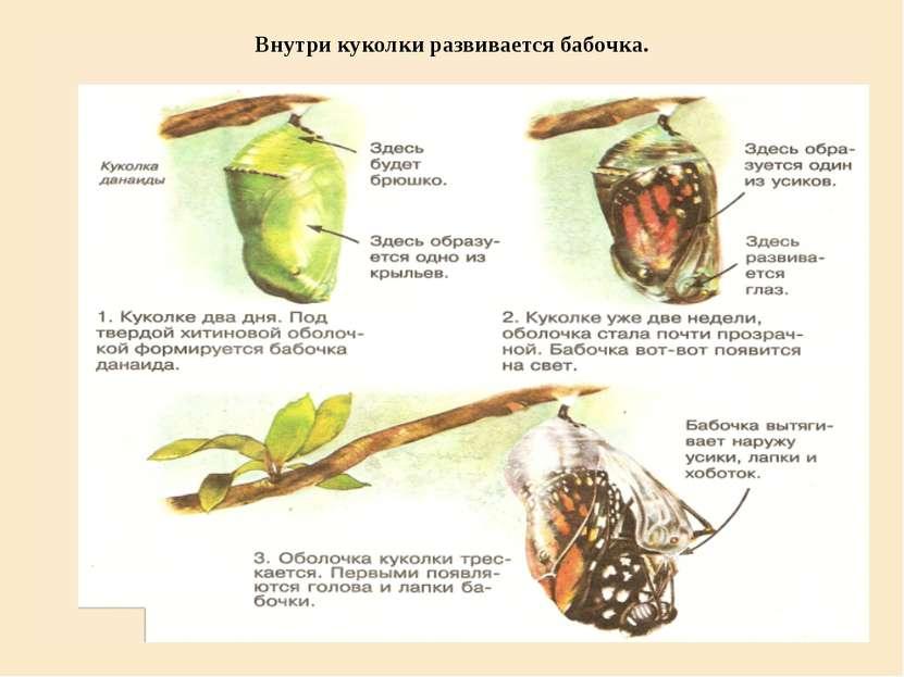 Внутри куколки развивается бабочка.