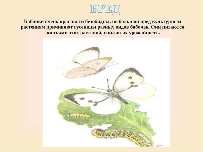 Бабочки очень красивы и безобидны, но большой вред культурным растениям причи...