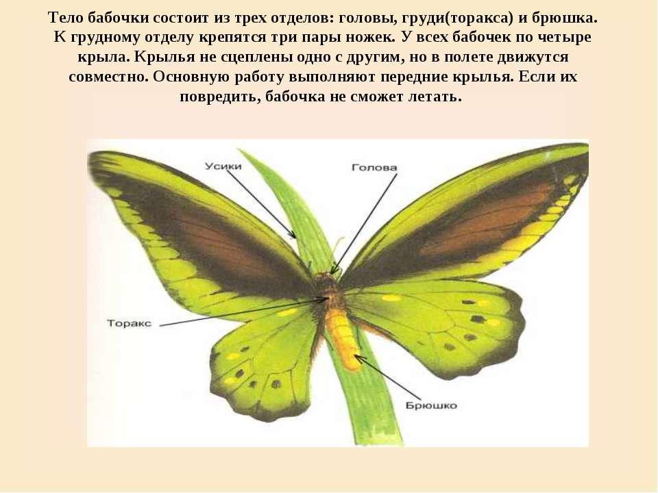 Тело бабочки состоит из трех отделов: головы, груди(торакса) и брюшка. К груд...