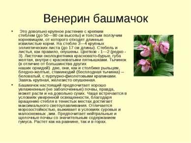 Венерин башмачок Это довольно крупноерастение с крепким стеблем(до 50—80 с...