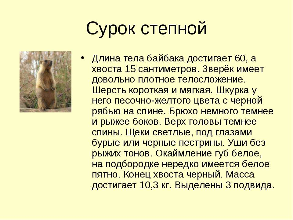 Сурок степной Длина тела байбака достигает 60, а хвоста 15 сантиметров. Зверё...