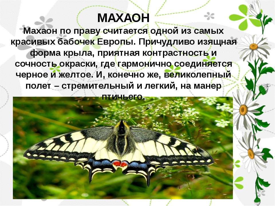 МАХАОН Махаон по праву считается одной из самых красивых бабочек Европы. Прич...