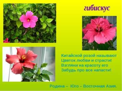 Китайской розой называют Цветок любви и страсти! Взгляни на красоту его Забуд...