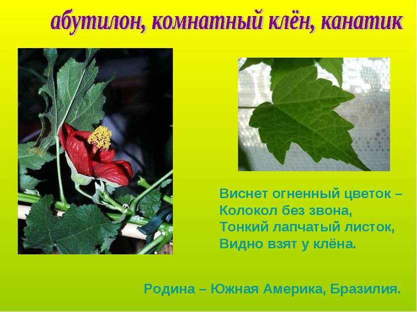 Виснет огненный цветок – Колокол без звона, Тонкий лапчатый листок, Видно взя...