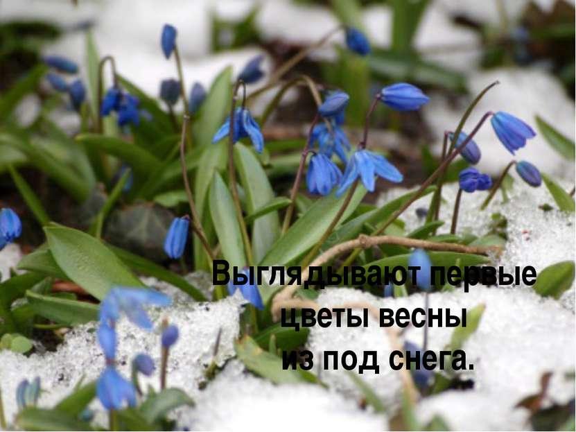 Выглядывают первые цветы весны из под снега.