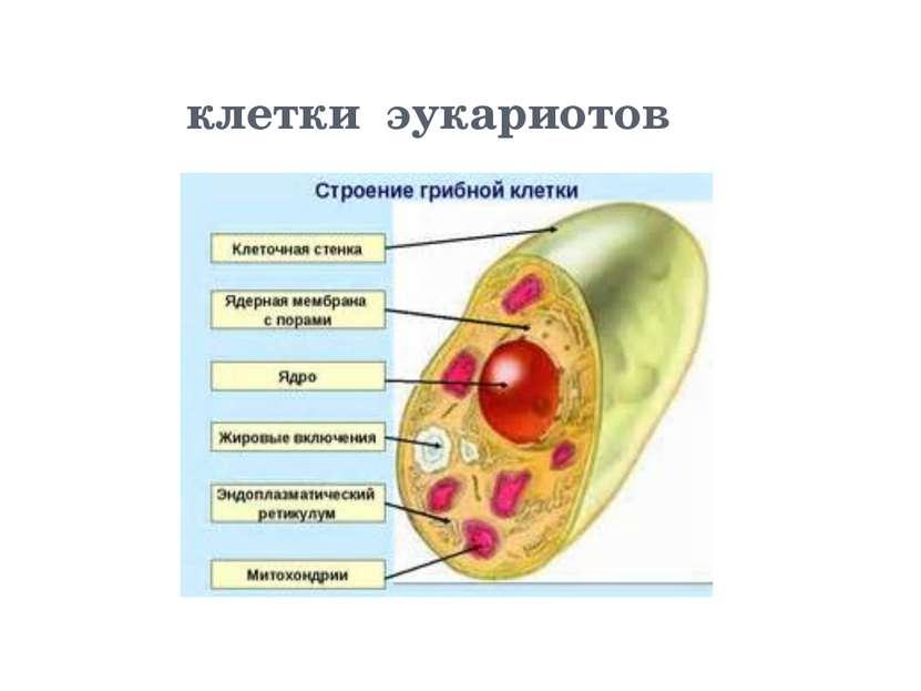 клетки эукариотов
