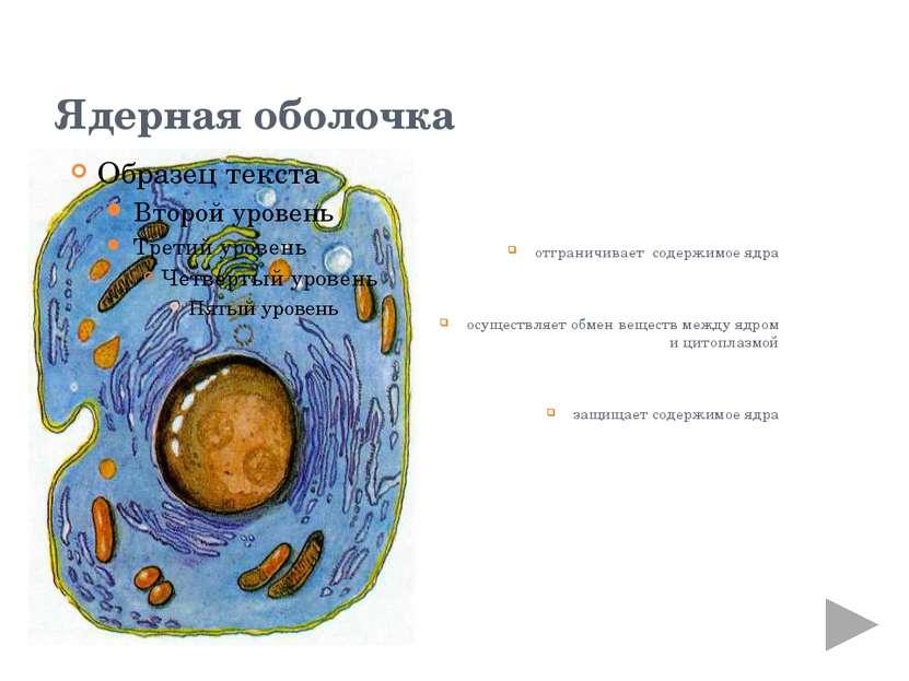 кариоплазма (ядерный сок) бесструктурная, гелеобразная масса