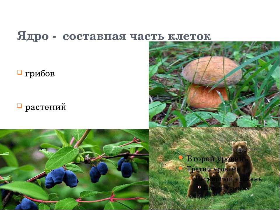 Ядро - составная часть клеток грибов растений животных