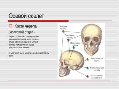 Осевой скелет Кости черепа (мозговой отдел) Череп определяет форму головы, за...