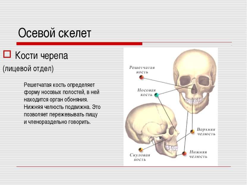 Осевой скелет Кости черепа (лицевой отдел) Решетчатая кость определяет форму ...