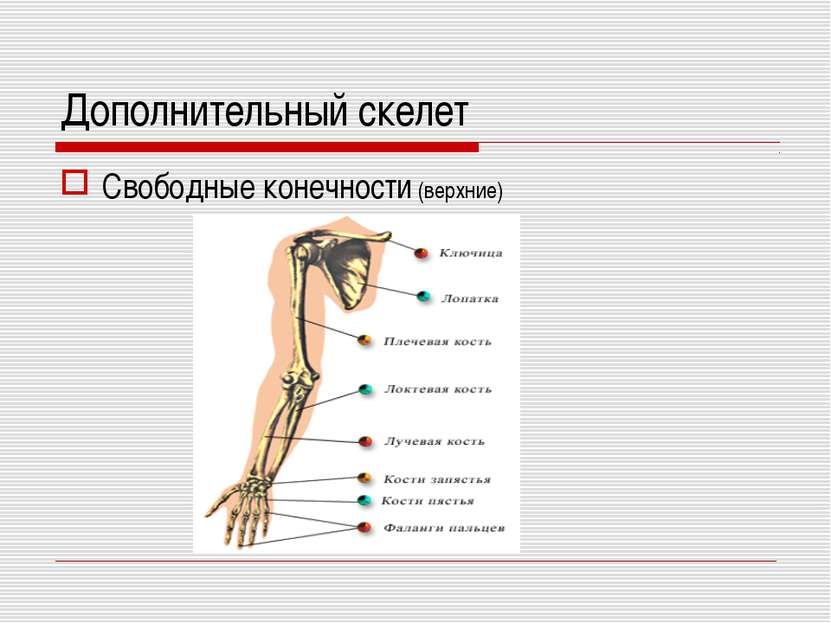 Дополнительный скелет Свободные конечности (верхние)