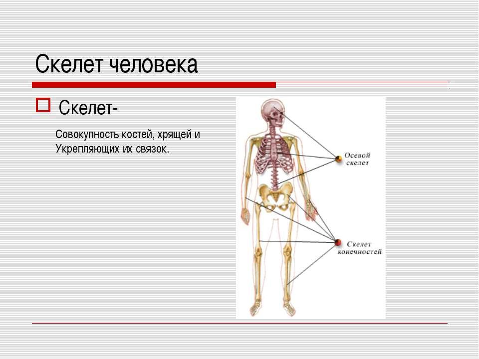 Скелет человека Скелет- Совокупность костей, хрящей и Укрепляющих их связок.
