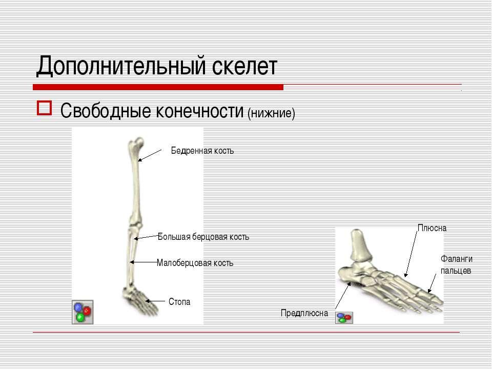 Дополнительный скелет Свободные конечности (нижние) Бедренная кость Большая б...