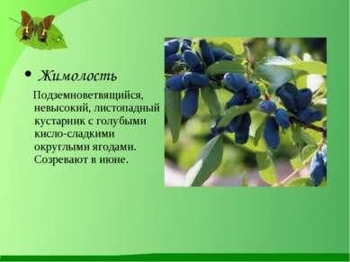 Жимолость Подземноветвящийся, невысокий, листопадный кустарник с голубыми кис...