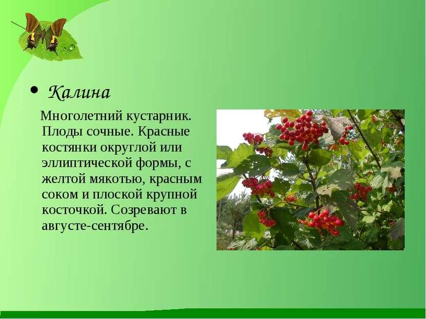 Калина Многолетний кустарник. Плоды сочные. Красные костянки округлой или элл...