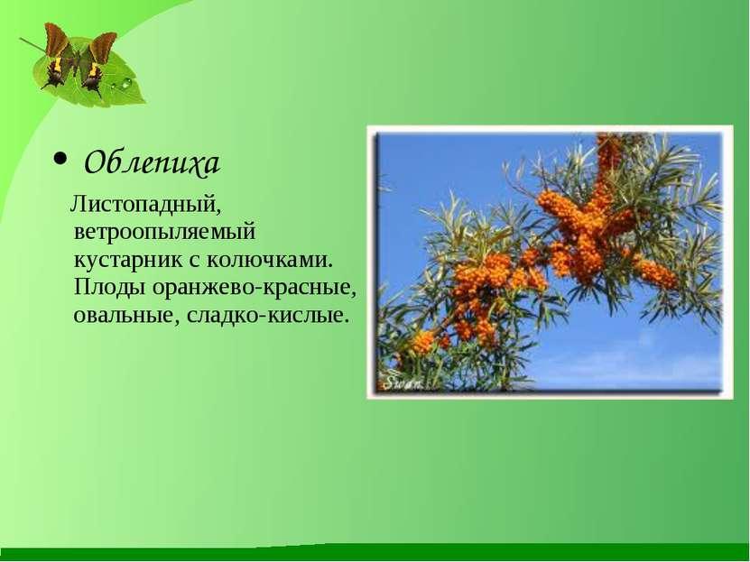 Облепиха Листопадный, ветроопыляемый кустарник с колючками. Плоды оранжево-кр...