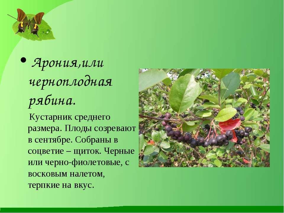Арония,или черноплодная рябина. Кустарник среднего размера. Плоды созревают в...