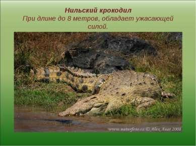 Нильский крокодил При длине до 8 метров, обладает ужасающей силой.