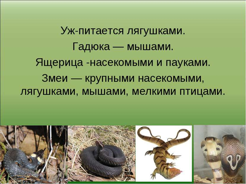 Уж-питается лягушками. Гадюка — мышами. Ящерица -насекомыми и пауками. Змеи —...