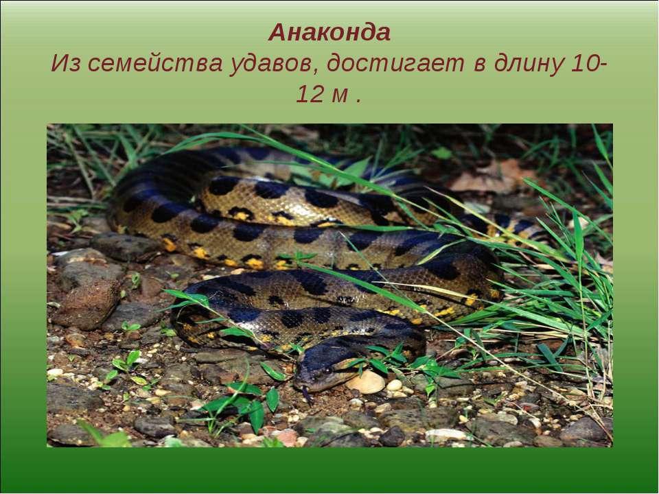 Анаконда Из семейства удавов, достигает в длину 10-12 м .