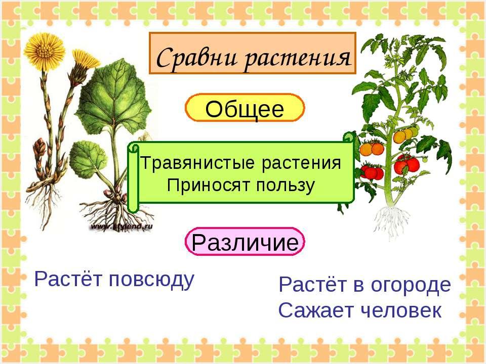 Общее Травянистые растения Приносят пользу Различие Растёт повсюду Растёт в о...