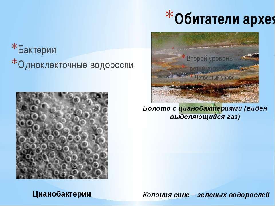 Обитатели архея Бактерии Одноклекточные водоросли Болото с цианобактериями (в...