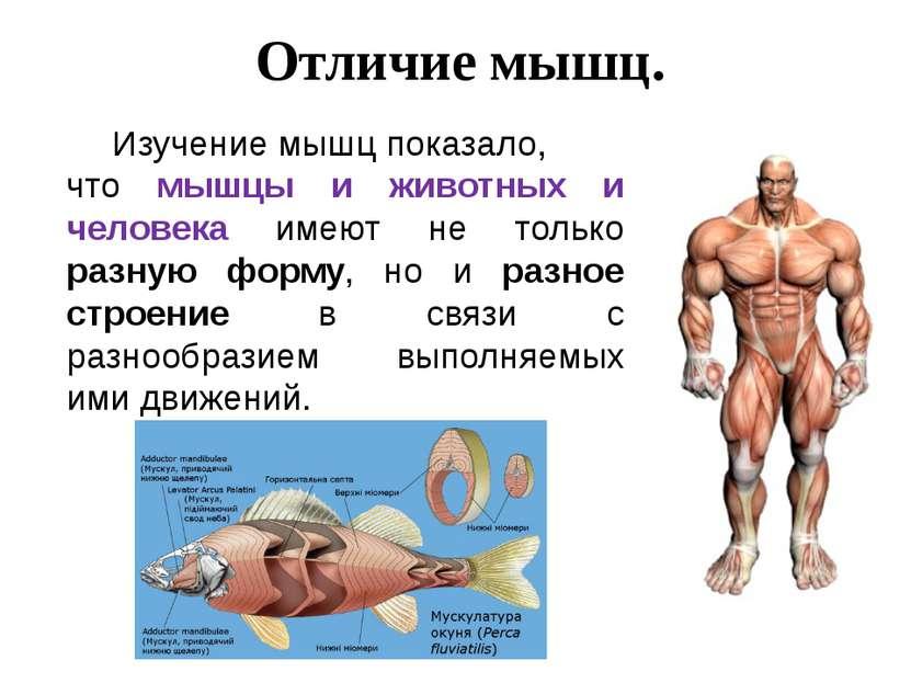 Отличие мышц. Изучение мышц показало, что мышцы и животных и человека имеют н...