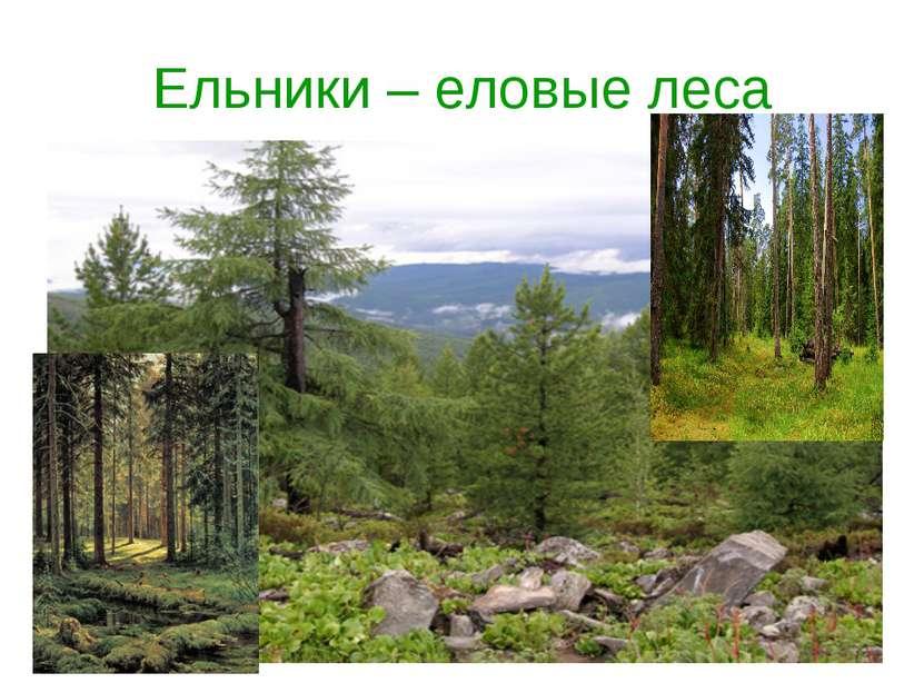 Ельники – еловые леса